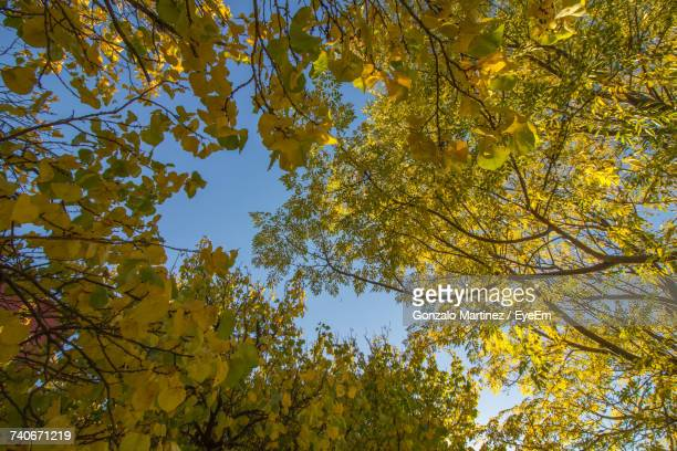 Low Angle View Of Yellow Autumn Tree