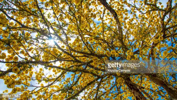 Low Angle View Of Yellow Flowers Blooming On Golden Trumpet Tree