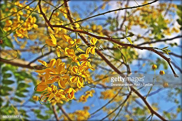Low Angle View Of Yellow Flowers Growing On Tree