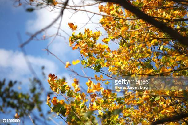Low Angle View Of Yellow Flowers On Tree