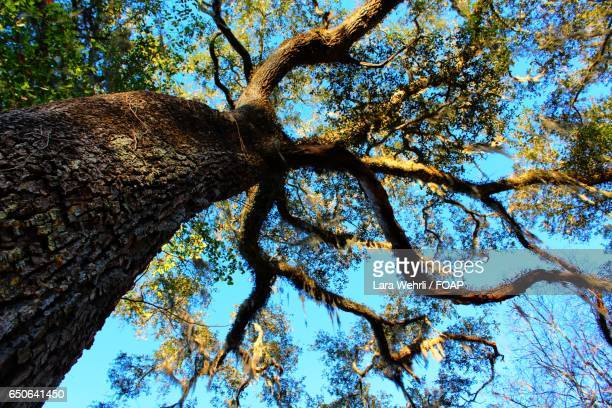 Low angle view spanish moss on branches