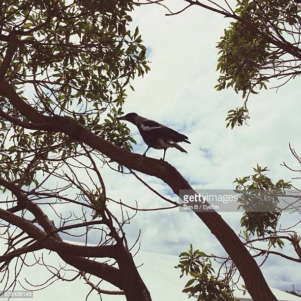 Low Angle View Tui Bird Perching On Tree Against Cloudy Sky