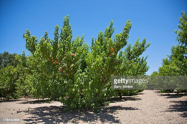 Low green trees with peaches on branches