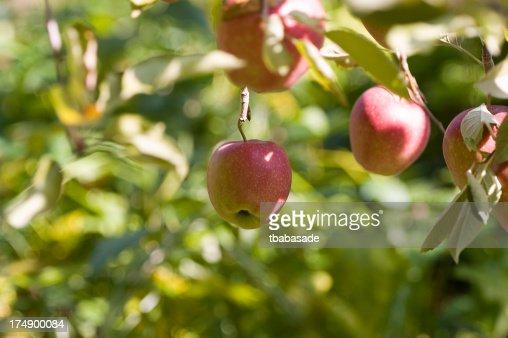 Low Hanging Apple