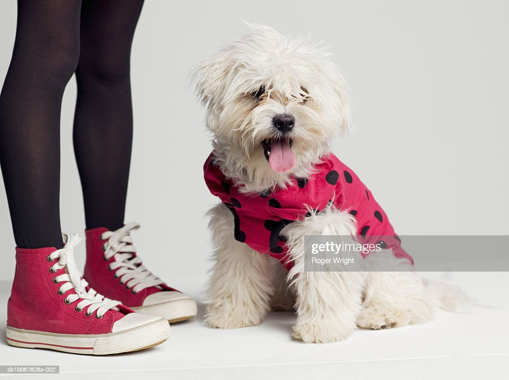 Low section of girl (8-9 years) standing by West Highland Terrier dog in ladybug outfit : Stock Photo