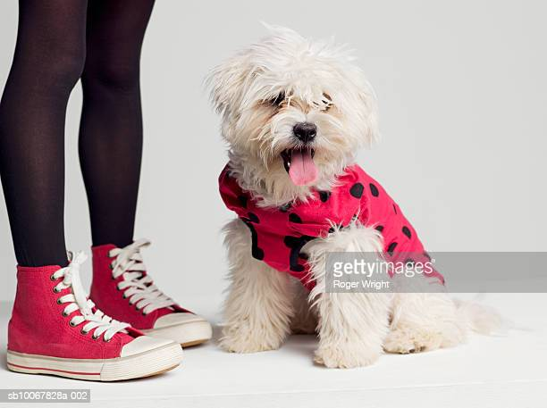 Low section of girl (8-9 years) standing by West Highland Terrier dog in ladybug outfit