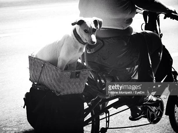 Low Section Of Man Riding Bicycle On Street With Dog In Basket