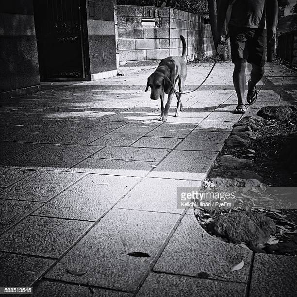 Low Section Of Man Walking With Dogs On Footpath