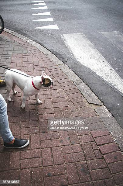 Low Section Of Person With Boston Terrier On Sidewalk
