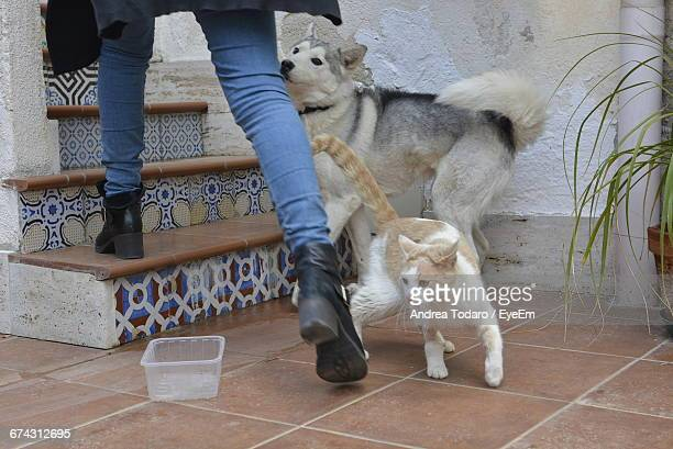 Low Section Of Woman Walking On Steps By Cat And Siberian Husky