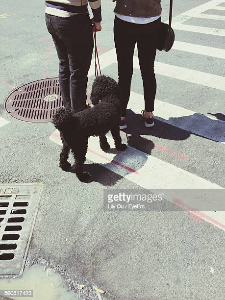 Low Section Of Women With Black Labradoodle Standing On Zebra Crossing