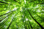 looking up at the sunlight in a Beech Tree Forest