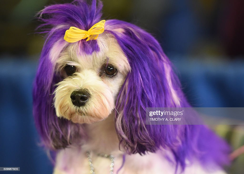 A Lowchen attends the AKC Meet The Breeds event on February 13, 2016 in New York at the 140th Annual Westminster Kennel Club Dog Show. / AFP / Timothy A. CLARY
