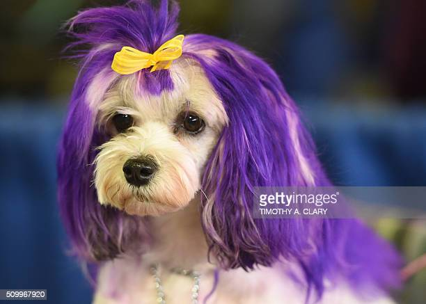A Lowchen attends the AKC Meet The Breeds event on February 13 2016 in New York at the 140th Annual Westminster Kennel Club Dog Show / AFP / Timothy...