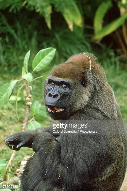 Lowland Gorilla (Gorilla gorilla), Africa