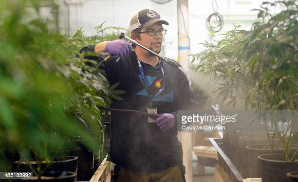 Lucas Targos the head grower at L'Eagle sprays the marijuana plants in their cultivation room on Wednesday August 19 2015 They spray with neem oil...