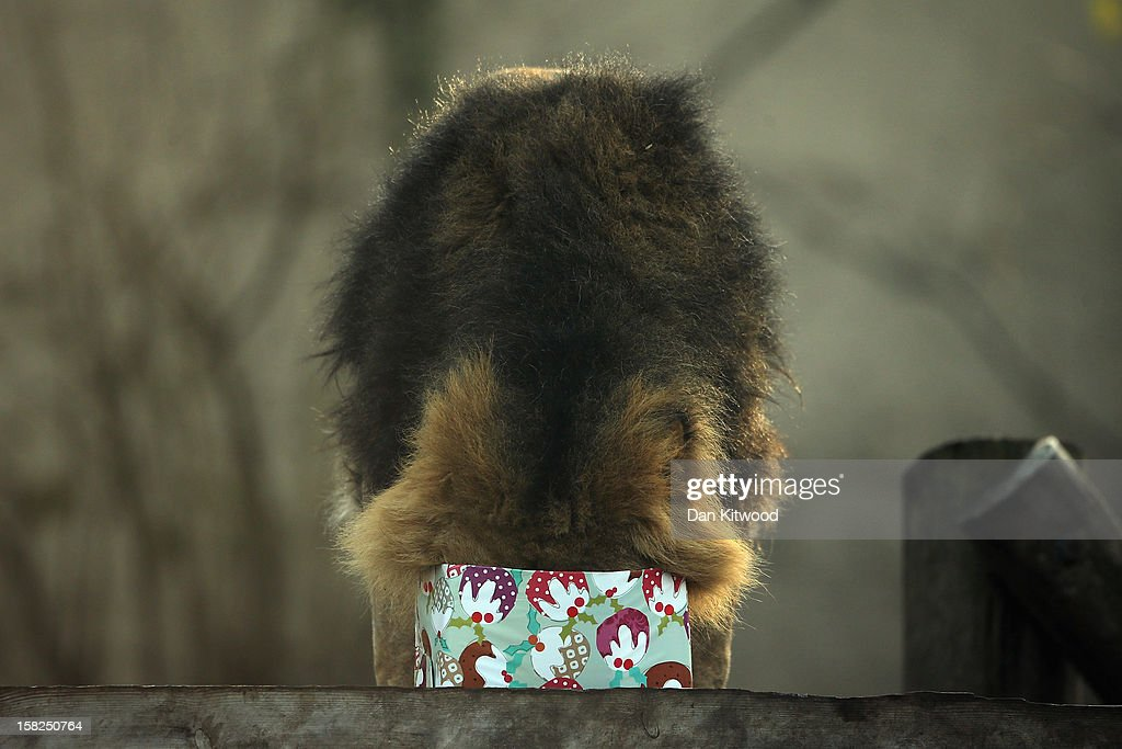 Lucifer the lion holds a Christmas present in his mouth at ZSL London Zoo on December 12, 2012 in London, England. Keepers at the zoo gave the some of the animals Christmas presents containing festive treats during a photocall at London Zoo.