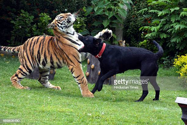 Lucky a sevenmonthold tiger rejected by its own mother plays with a female Labrador Jimmy which fed him after its mother killed her other cubs at...