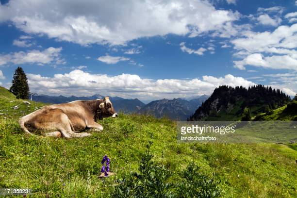 lucky alpine Kuh in Lechtaler Alpen