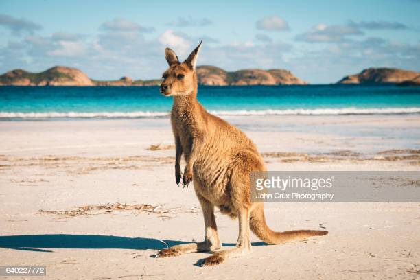 Lucky Bay Kangaroo in Esperance