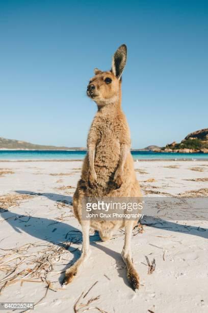 Lucky Bay Kangaroos