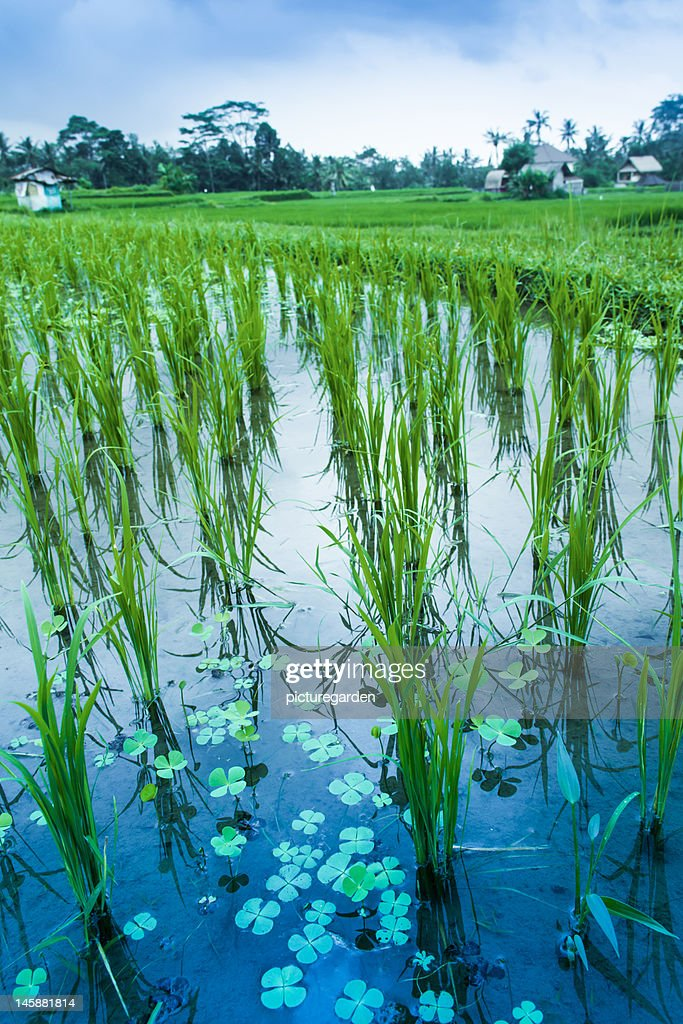 Lucky Clover in Rice Paddy : Stock Photo