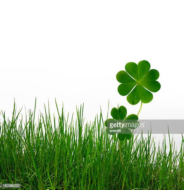 Lucky clovers and grass on white background