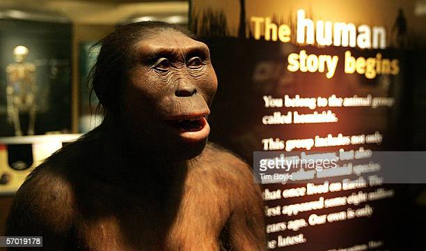 'Lucy' an Australopithecus afarensis is displayed as part of the 'Evolving Planet' exhibit at the Field Museum March 7 2006 in Chicago Illinois The...