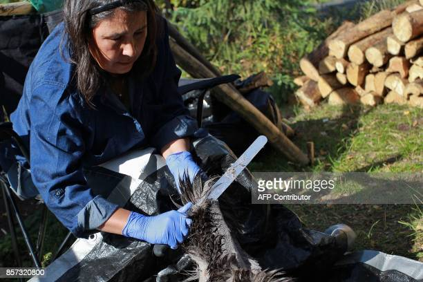 Lucy Ann Yakeleya removes the fur from a mooses skin at the urban hide tanning camp organized by Dene Nahjo in Yellowknife Northwest Territories on...