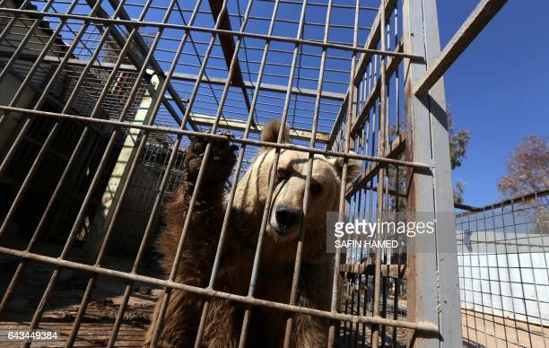 Lula an abandoned bear stands in its cage before receiving treatment from members of the international animal welfare charity 'Four Paws' at the...