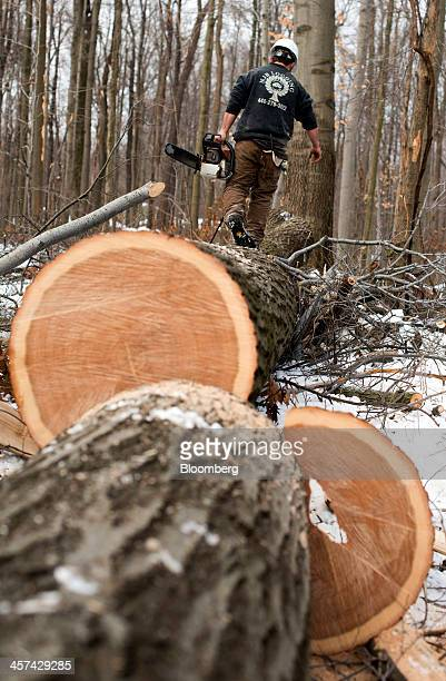 A lumberjack walks on top of a tree while working at an NJB Logging LLC site in Chesterland Ohio US on Friday Dec 13 2013 US lumber production...