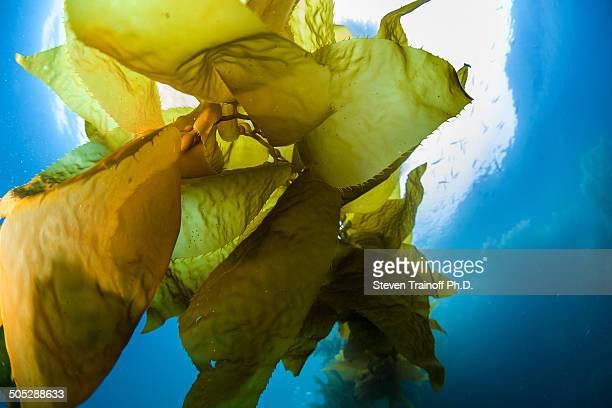 Luminescent green kelp