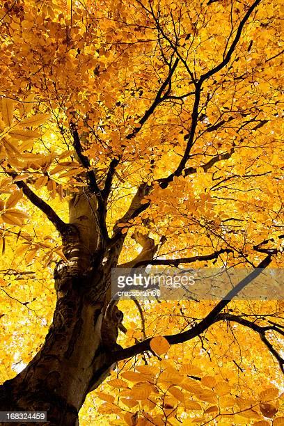 Leuchtende Buche im Herbst XXL-Herbstwald