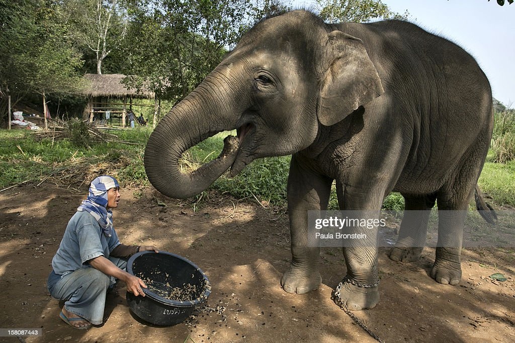 Lun, a Thai mahout, serves a coffee bean mixture to an elephant at an elephant camp at the Anantara Golden Triangle resort on December 10, 2012 in Golden Triangle, northern Thailand. Black Ivory Coffee, started by Canadian coffee expert Blake Dinkin, is made from Thai arabica hand picked beans. The coffee is created from a process whereby coffee beans are naturally refined by a Thai elephant. It takes about 15-30 hours for the elephant to digest the beans, and later they are plucked from their dung and washed and roasted. Approximately 10,000 beans are picked to produce 1kg of roasted coffee. At USD 1,100 per kilogram or USD 500 per pound, the cost per serving of the elephant coffee equals USD 50, making the exotic new brew the world's priciest. It takes 33 kilograms of raw coffee cherries to produce 1 kilo of Black Ivory Coffee.