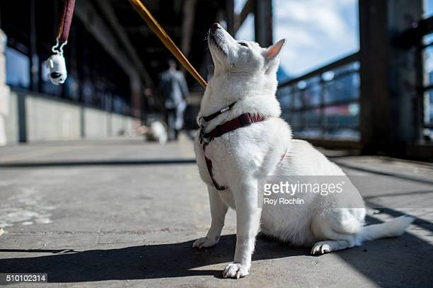 Luna the Shiba Inu attends 7th Annual AKC Meet The Breeds at Pier 92 on February 13 2016 in New York City