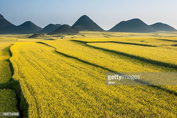 Luoping rapeseed flower