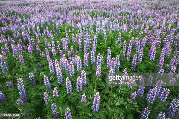 Lupine flower field in summer