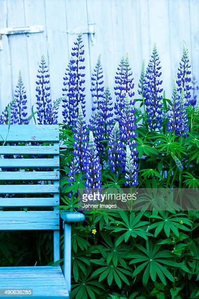 Lupine flowers in garden