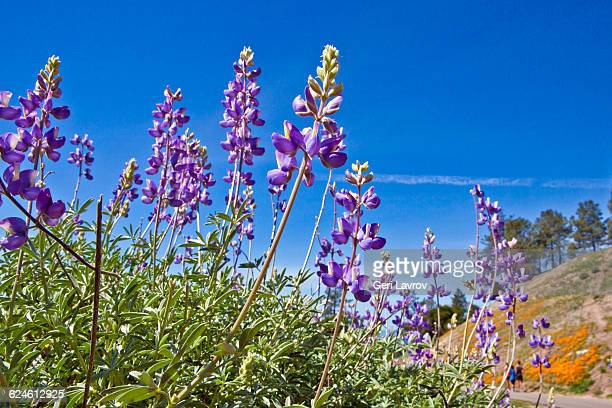 Lupine flowers: Los Padres National Forest, CA