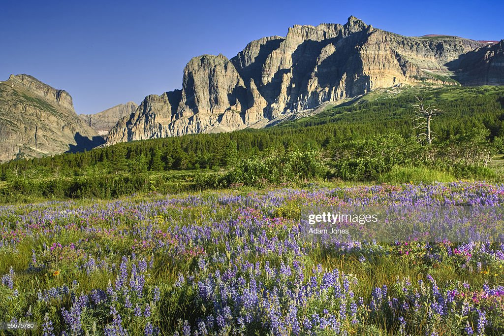 Lupine meadow and mountains
