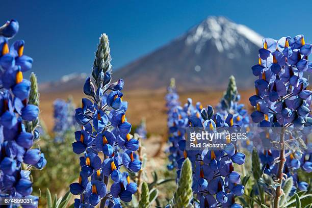 Lupines and Licancabur volcano