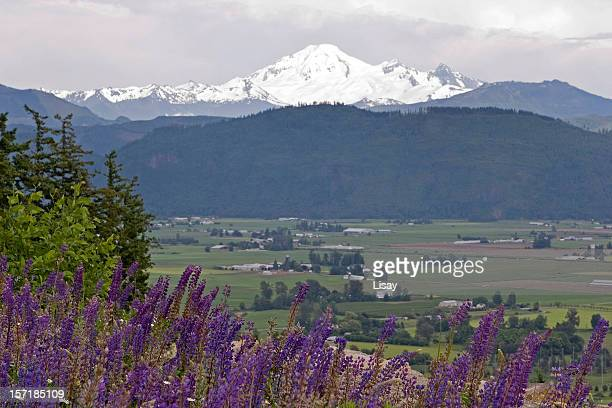 Lupines and snow covered mountain