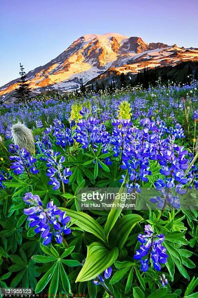 Lupines at Mazama Ridge, Mt. Rainier