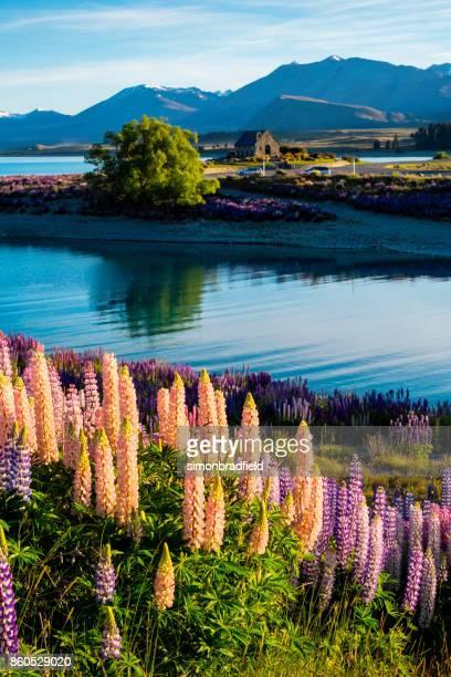 Lupins At Lake Tekapo, New Zealand South Island