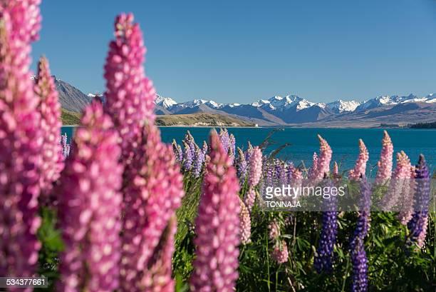 Lupins bloom at Lake Tekapo