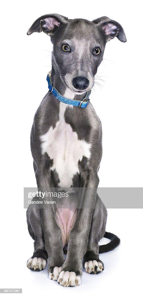 Lurcher/Whippet Dog