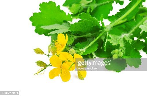 lush and green celandine : Foto de stock