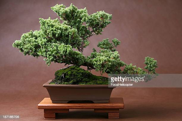 Lush Bonsai on Brown