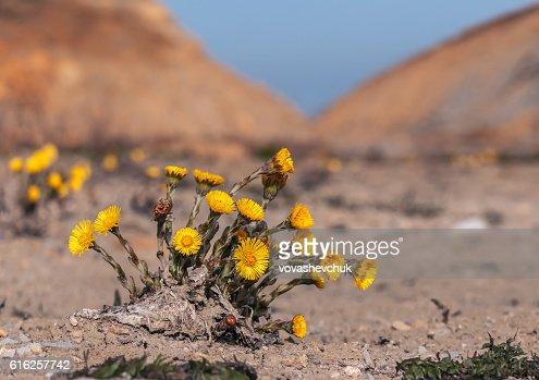 lush foalfoot bush : Foto de stock