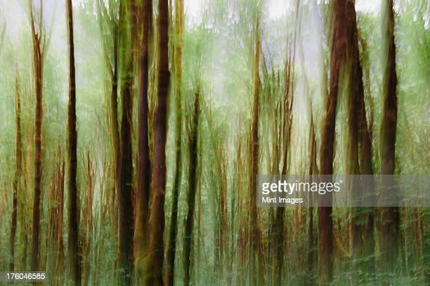 Lush forest of moss covered Big leaf maple trees (Acer macrophyllum), blurred motion, Dosewallips River, Washington, USA